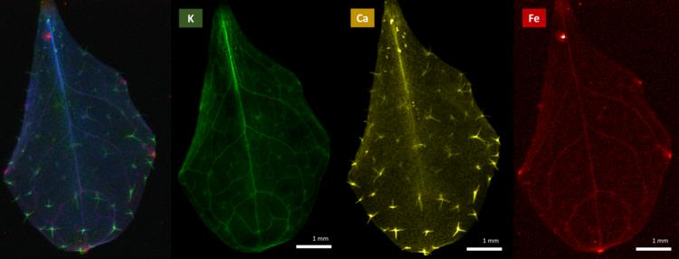 19-day leaf of a mutant OPT3 Arabidopsis plant